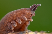 A bug thats actually cute Ladies and gentlemen the velvet worm