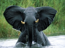 A bull elephant fully emerging from the Shire River in Malawis Liwonde National Park Szakcs Cukrsz
