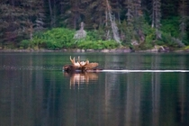 A bull moose swimming