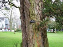 a California coast redwood Sequoia Sempervirens in an unexpected spot UCC campus Cork Ireland  oc