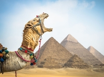 A camel yawns after delivering his rider to the Pyramids at Giza near Cairo Egypt Claire Thomas