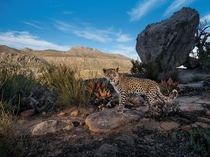 A camera trap set in South Africas Cederberg Wilderness records the steady gaze of a Cape leopard cub Though not classified as a separate subspecies of leopard these shy mountain cats are smaller than their savanna kin Steve Winter