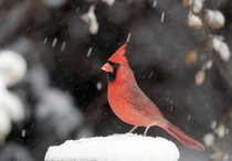 A cardinal stands on a snow-covered perch on  November  in Lawrence Kansas United States of America Photo credit Orlin Wagner  AP Photo
