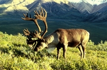 A caribou with magnificent horns Rangifer tarandus