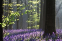 A carpet of bluebells in the Hallerbos south of Brussels Belgium  photo by Ingrid Van Damme