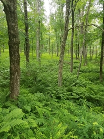A carpet of ferns in the Quabbin Reservoir MA