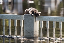 A cat is stranded on a fence due to floodwaters from the Lumber River on October   in Fair Bluff North Carolina