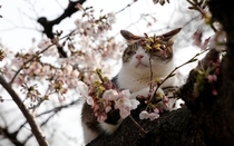 A cat rests in a cherry blossom tree on a spring day in a Tokyo park