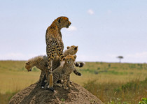 A cheetah Acinonyx jubatus and her three cute cubs