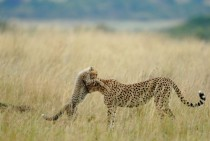 A Cheetah and her cub
