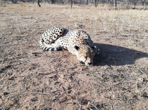 A cheetah in South Africa