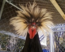 A chicken White crested-black Polish bantam named Stanley Gallus gallus domesticus