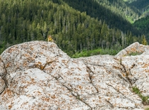 A chipmunkTamias playing with a dandelion on top of a mountain in Alberta Canada