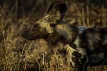 A close up of the stunning African wild dog in Kruger National Park