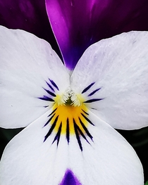 A close up shot to this beautiful colourful Viola