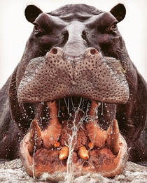 A Closeup image of a Hippo