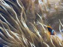 A clown fish in a anemone