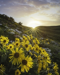 A cluster of Arrowleaf balsamroot flowers in Eastern Washington