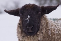 A cold sheep