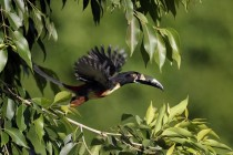 A Collared Aracari  Pteroglossus torquatus takes flight from a tree branch in San Salvador