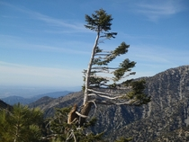 A conifer shaped by strong mountain winds