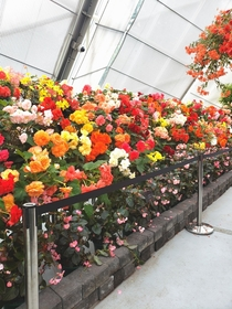 A conservatory full of Begonia