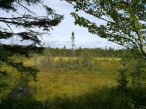 A copse of Black spruce growing in a Nova Scotia bog They are one of few species of trees that can thrive in the wet acidic soil