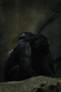 A couple Bonobos at the San Diego Zoo
