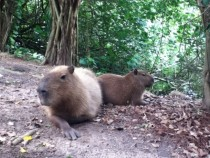 A couple of Capybaras Worlds largest rodent  OC