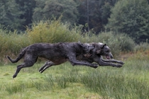 A couple of deerhounds mid-air photographed by Rob van de Peppel