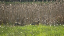 A couple of European Rabbits Oryctolagus cuniculus in Minden Germany