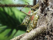 A couple of grasshoppers reproducing in the Everglades