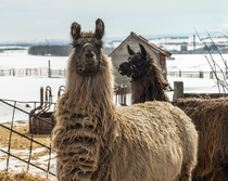A couple of Llamas on a farm chilling out