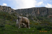 A cow and a calf Mount Arbel Israel