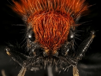 A Cow Killer Wasp aka a Velvet Ant does not kill cows USGS  x-post rHI_Res
