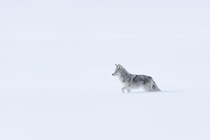 A Coyote traversing Yellowstone National Parks Lamar Valley in deep winter