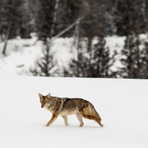 A coyote walks through the snow at Yellowstone National Park Photo credit to Lloyd Blunk