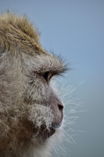 A Crab Eating Macaque side profile