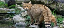 A cretan wild cat or fourogatos in of course the island of Crete Greece Sorry for indecent quality still wanted to share