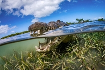 A crocodile cruises by photographer Fabrice Dudenhofer in Cubas Jardines de la Reina or Gardens of the Queen