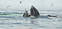 A cross post from rNaturepics Humpback whales Megaptera novaeangliae