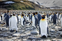 A crowd of many thousand Emperor Penguins in Antarctica