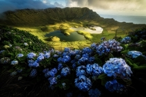 A Crown in the OceanWild Hortensias on the rim of Caldeiro on the remote island of Corvo Azores Portugal