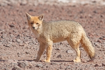 A culpeo Lycalopex culpaeus or Andean fox near the border between Bolivia and Chile