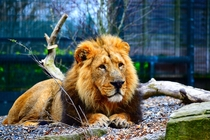 A daydreaming Lion at Dublin Zoo