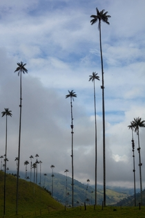 A different angle of the worlds tallest palm trees - Valle de Cocora Colombia