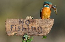 A disobedient Kingfisher