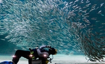 A diver performs with sardines as part of summer vacation events at the Coex Aquarium in Seoul South Korea