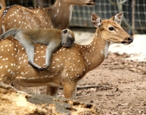 A doe with a monkey on its back
