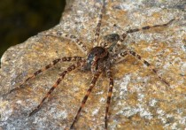 A Dolomedes found in Quebec Canada